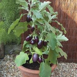 Eggplant 'Pot Black F1'