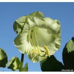 Cobaea scandens 'Alba', Cup...