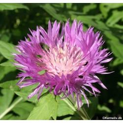 Centaurea dealbata,...