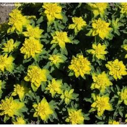 Euphorbia polychroma,...