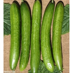 Outdoor Cucumber 'Telegraph...