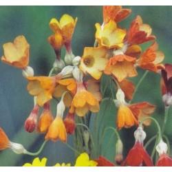 Primula florindae 'Keilour...