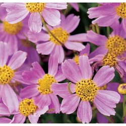 Coreopsis rosea 'American...