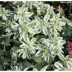 Euphorbia marginata,...