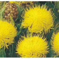 Centaurea macrocephala,...