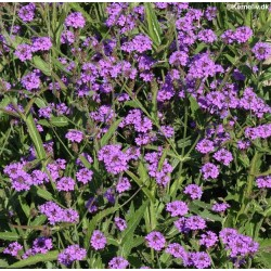 Verbena rigida 'Intensity'