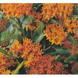 Asclepias tuberosa, orange...