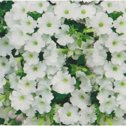 Petunia x hybrida pendula...