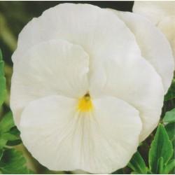 Viola wittrockiana...