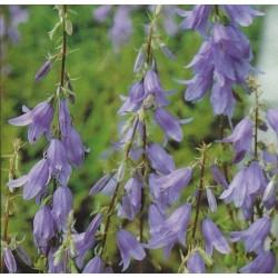 Adenophora latifolia, Lady...