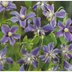 Clematis integrifolia, Blå...