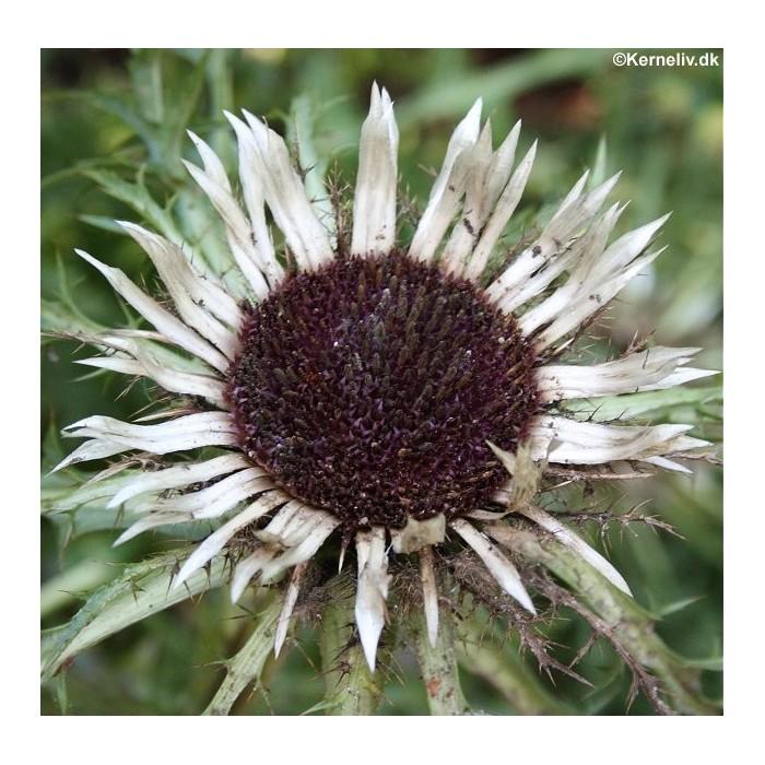 Carlina acaulis ssp. simplex