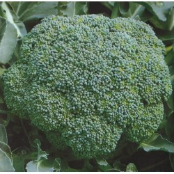 Broccoli 'Lucky F1'