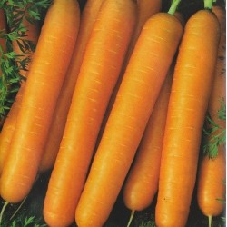 Carrot 'Amsterdam 2'