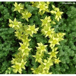 Sedum acre 'Golden Carpet',...