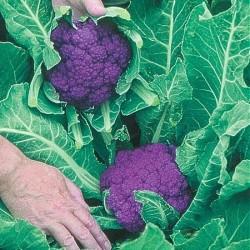 Blomkål 'Di Sicilia Violetto'