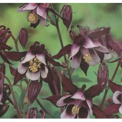 Aquilegia vulgaris 'William...