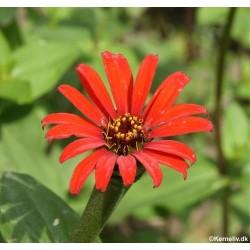 Zinnia tenuifolia 'Red Spider'