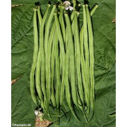 Dwarf French Bean 'Fin de...