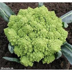 Cauliflower 'Romanesco'
