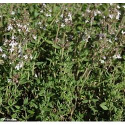Common Thyme, Organic