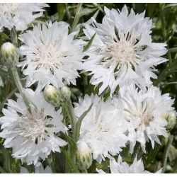 Centaurea cyanus 'Snow...