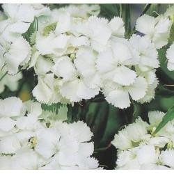 Dianthus barbatus 'White',...
