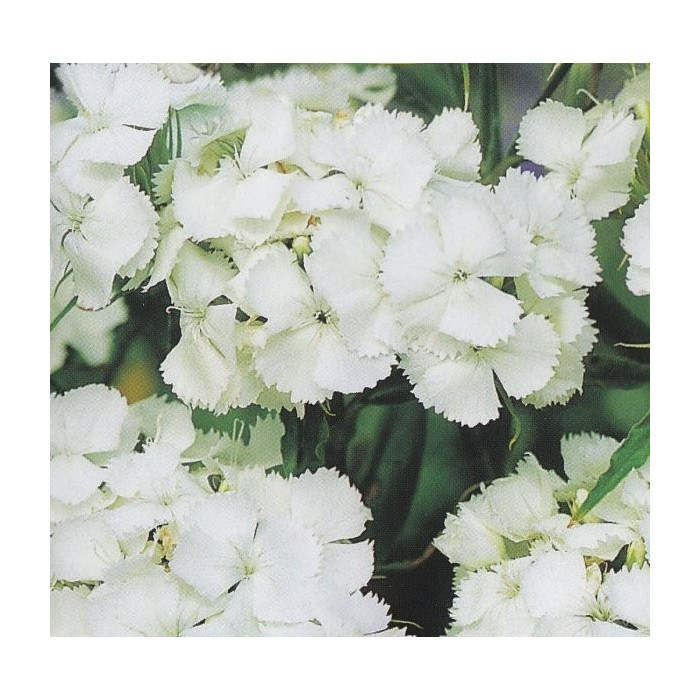 Dianthus barbatus white sweet william produces flat dense clusters of sweetly scented pure white flowers from late spring to midsummer excellent cut flower mightylinksfo