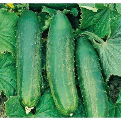 Outdoor Cucumber 'Bush...