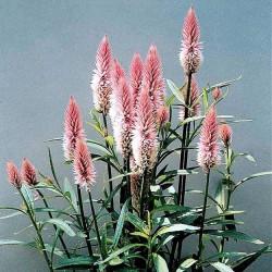 Amaranthus caudatus, Rævehale