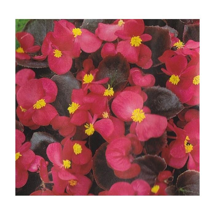 Begonia semperflorens 'Broumov F1'