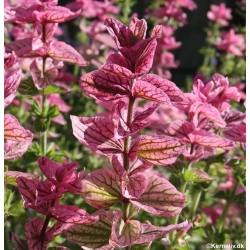 Salvia viridis 'Pink Sundae'