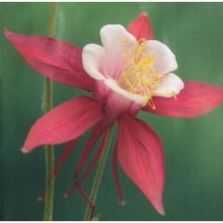 Aquilegia caerulea 'Crimson Star'