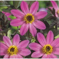 Dahlia variabilis 'Mignon rose shades'