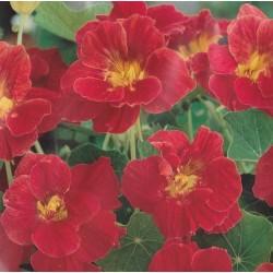 Tropaeolum nanum 'Scarlet Jewel'