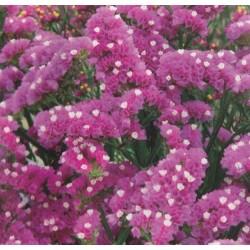 Limonium sinuatum 'Rose'