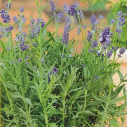 Lavandula angustifolia 'Mini Blue'