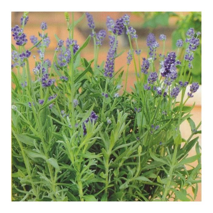 Lavandula angustifolia 'Mini Blue'