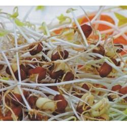 Bean Sprouts - Azuki