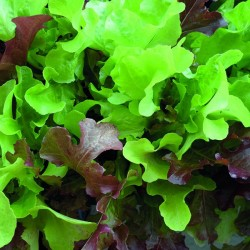 Pluksalat 'Red Salad Bowl' / 'Green Salad Bowl'
