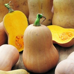 Vintersquash 'Early Butternut'