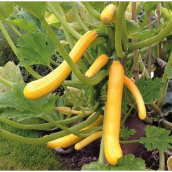 Squash/Courgette 'Shooting Star F1'