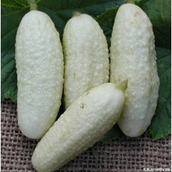 Gherkin 'White wonder'