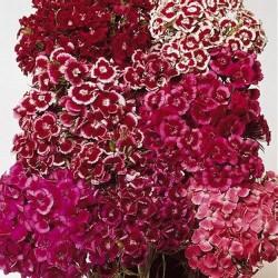 Dianthus barbatus 'Auricula-Eyed Mix'