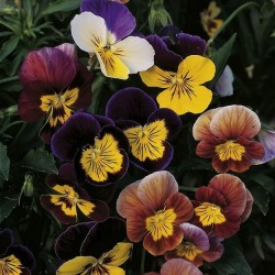 Viola cornuta 'Fancy Shades Mix'