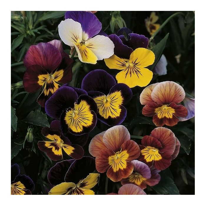 Viola cornuta 'Fancy Shades Mix'