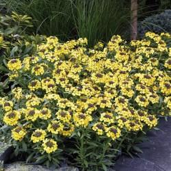 Cheiranthus cheiri 'Canary'
