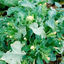 Broccoli  'White Star'