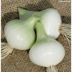 Salad Onion 'White Lisbon'