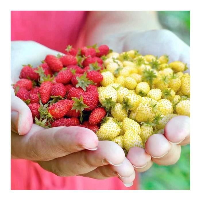 Jordbær 'Red & White Mix'